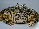 An Ornate Horned Frog