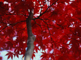 Close View of Red Maple Leaves