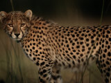 A Portrait of an African Cheetah in the Grass