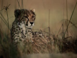 A Portrait of an African Cheetah Resting in the Tall Grass