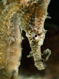Male Sea Horse with Young Sitting on its Snout after Birth