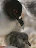 A Close View of a Swallow Tailed Gull and Her Baby
