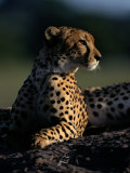 A Portrait of an African Cheetah