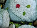 Three Fallen Leaves Lie on a Rock