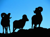 Silhouettes of a Trio of Bighorn Rams