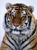 Un tigre de Sibérie au jardin zoologique du Minnesota Papier Photo par Michael Nichols