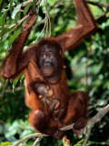 A Baby Orangutan Clings to its Mother While She Perches on a Branch