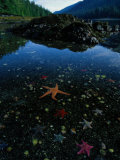 Low Tide Reveals a Galaxy of Bat Stars and Other Sea Creatures