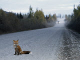 Red Fox on the Cassier Highway