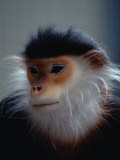 The Douc Langur is an Endangered Species Native to Indo-China
