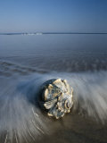 Une conque échouée sur le rivage Papier Photo par George Grall
