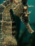 Male Seahorse (Hippocampus Whitei)