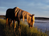 A Chincoteague Stallion Grazes on Marsh Grass