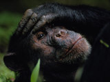 Close-up of a Chimpanzee Holding its Forehead