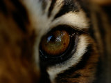 Close-up of the Eye of a Captive Bengal Tiger