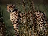 Portrait of an African Cheetah Standing Among Tall Grass