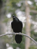 A Common Raven Calls out While Perched on a Branch