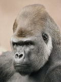 A Portrait of a Western Lowland Gorilla