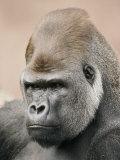 A Portrait of a Western Lowland Gorilla