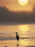 A Little Blue Heron Silhouetted on a Florida Beach at Sunrise