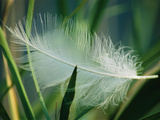 A White Swan Feather Lies Caught in Some Reeds at the Edge of a Pond