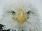 A Portrait of an American Bald Eagle