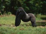A Silverback Western Lowland Gorilla Strikes a Pose in Odzala Park