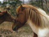 Wild Pony Foal Nuzzling its Mother
