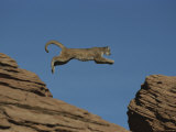 A Mountain Lion Leaps from a Rocky Outcrop to Another
