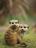 A Pair of Captive Meerkats Keep Close Company
