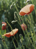 Poppies in a Field in Provence