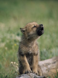 A Wolf Pup Sits up to Howl