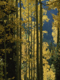 Quaking Aspen Trees Display Brilliant Fall Foliage Near Ouray