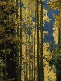 Quaking Aspen Trees Display Brilliant Fall Foliage Near Ouray