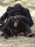 Two Chimpanzees Groom Each Other in Gombe Stream National Park