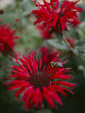 Bee Balm Plants  Whose Flowers Draw Hummingbirds and Bees