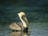 Brown Pelican on Floridas Gulf Coast