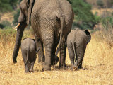 Rear View of Female Elephant Flanked by Two Babies