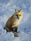 A Red Fox Sits in the Snow