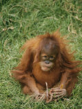 A Captive Juvenile Orangutan Sits in the Grass