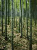 Slender Green Trunks in a Bamboo Forest