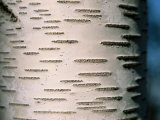 A Close View of White Birch Bark