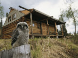 A Hawk Owl Sits on a Stump Near a Log Cabin