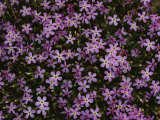 A Spray of Purple Phlox Flowers