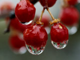 A Close View of Water Droplets on Wild Red Berries
