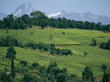 Tea Plantations Covering the Hills Near Mount Kenya