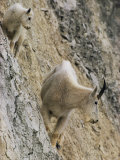 Rocky Mountain Goats on a Steep Hillside