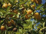 An Orange Tree Bears Fruit Along Sunset Boulevard