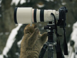 A Curious Japanese Macaque  or Snow Monkey  Examines a Camera