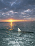The Fin of a Blacktip Shark Pokes Above the Waters Surface at Sunset